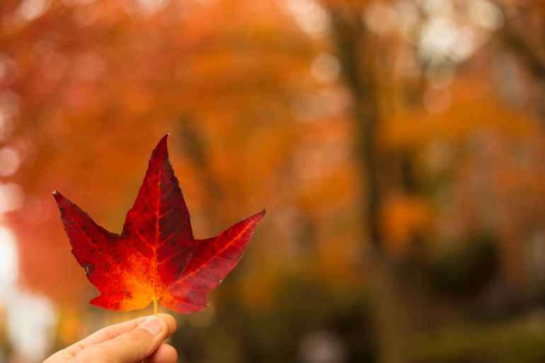 selective focus photography of person holding red maple leaf